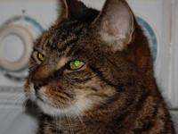 Tabby - Brown - Majesty - Medium - Adult - Male - Cat