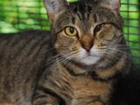 Tabby - Brown - Mama Kitty - Medium - Adult - Female -
