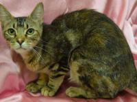 Tabby - Brown - Mia - Transported Out-of-state Due To