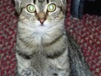 Tabby - Brown - Miracle - Medium - Baby - Female - Cat