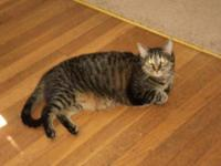 Tabby - Brown - Missy - Medium - Adult - Female - Cat
