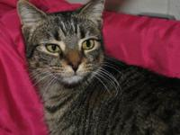 Tabby - Brown - Morgan - Medium - Young - Female - Cat
