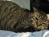 Tabby - Brown - Mr. Bill - Medium - Young - Male - Cat