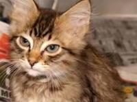 Tabby - Brown - Mr Pickles - Large - Baby - Male - Cat