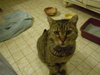 Tabby - Brown - Nine - Medium - Baby - Male - Cat Meet