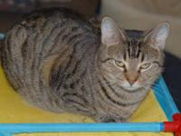 Tabby - Brown - Nola - Medium - Young - Female - Cat