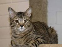 Tabby - Brown - Oreo - Small - Adult - Female - Cat