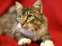 Tabby - Brown - Pearl - Medium - Adult - Female - Cat