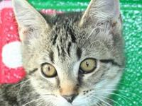 Tabby - Brown - Piper - Medium - Young - Female - Cat