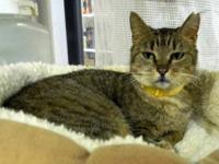 Tabby - Brown - Polly - Medium - Senior - Female - Cat