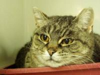 Tabby - Brown - Rainbow - Small - Adult - Female - Cat