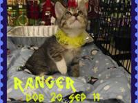 Tabby - Brown - Ranger - Medium - Young - Male - Cat
