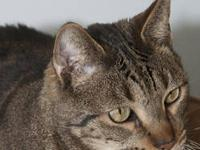 Tabby - Brown - Rocky - Large - Adult - Male - Cat