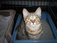 Tabby - Brown - Sammy - Medium - Young - Male - Cat