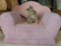 Tabby - Brown - Savannah - Medium - Baby - Female -