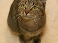 Tabby - Brown - Serena - Small - Young - Female - Cat