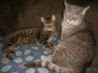 Tabby - Brown - Sheldon - Medium - Young - Male - Cat