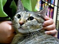 Tabby - Brown - Sophie - Small - Adult - Female - Cat