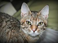 Tabby - Brown - Sweetie Face - Medium - Young - Female