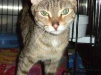 Tabby - Brown - Sweetie - Small - Young - Female - Cat