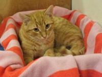 Tabby - Brown - Tango - Medium - Young - Male - Cat