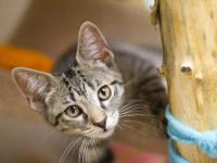 Tabby - Brown - Tazzy - Medium - Baby - Female - Cat