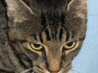 Tabby - Brown - Terri - Small - Young - Female - Cat