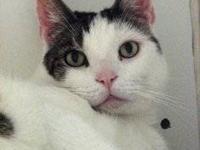 Tabby - Brown - Tigger - Large - Senior - Male - Cat
