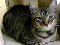 Tabby - Brown - Tina - Large - Young - Female - Cat