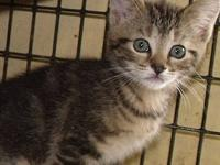 Tabby - Brown - Tinker - Medium - Young - Male - Cat