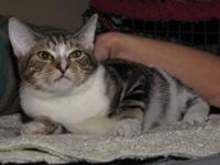 Tabby - Brown - Titan - Large - Young - Male - Cat