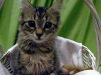 Tabby - Brown - Vera - Medium - Baby - Female - Cat