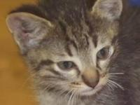 Tabby - Brown - Will - Medium - Baby - Male - Cat Will