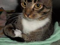 Tabby - Brown - Zoey - Medium - Young - Female - Cat