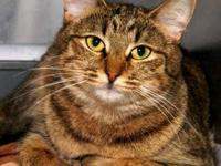 Tabby - Brown - Zoot - Medium - Young - Female - Cat