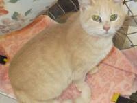 Tabby - Buff - Joan - Medium - Adult - Female - Cat