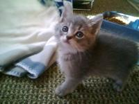 Tabby - Buff - Kitten - Small - Baby - Female - Cat