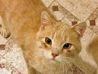 Tabby - Buff - Mr Wobbles (ch) - Medium - Adult - Male