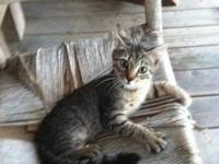 Tabby - Buff - Slim Jim - Medium - Baby - Male - Cat He