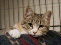 Tabby - Catfish - Medium - Young - Female - Cat This is