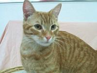 Tabby - Chester - Medium - Young - Male - Cat Chester
