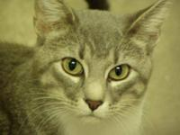 Tabby - Clermont - Medium - Adult - Male - Cat Clermont