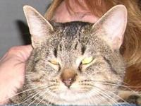 Tabby - Comet - Medium - Adult - Male - Cat Comet is an