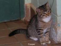 Tabby - Cooper - Small - Young - Male - Cat 12/6/2012