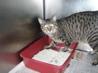 Tabby - Danny Boy - Medium - Adult - Male - Cat Danny