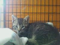 Tabby - Elliot - Small - Baby - Male - Cat Elliot is a