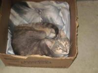Tabby - Emmie - Medium - Adult - Female - Cat Emmie is