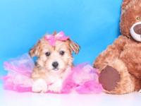 Tabby is a very sweet and cute Morkie puppy. She is