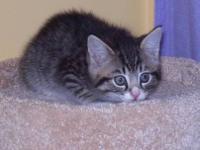 Tabby - Ginger - Medium - Baby - Female - Cat Ginger is