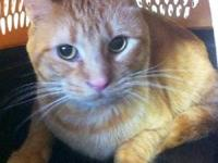 Tabby - Goldie - Medium - Young - Male - Cat This
